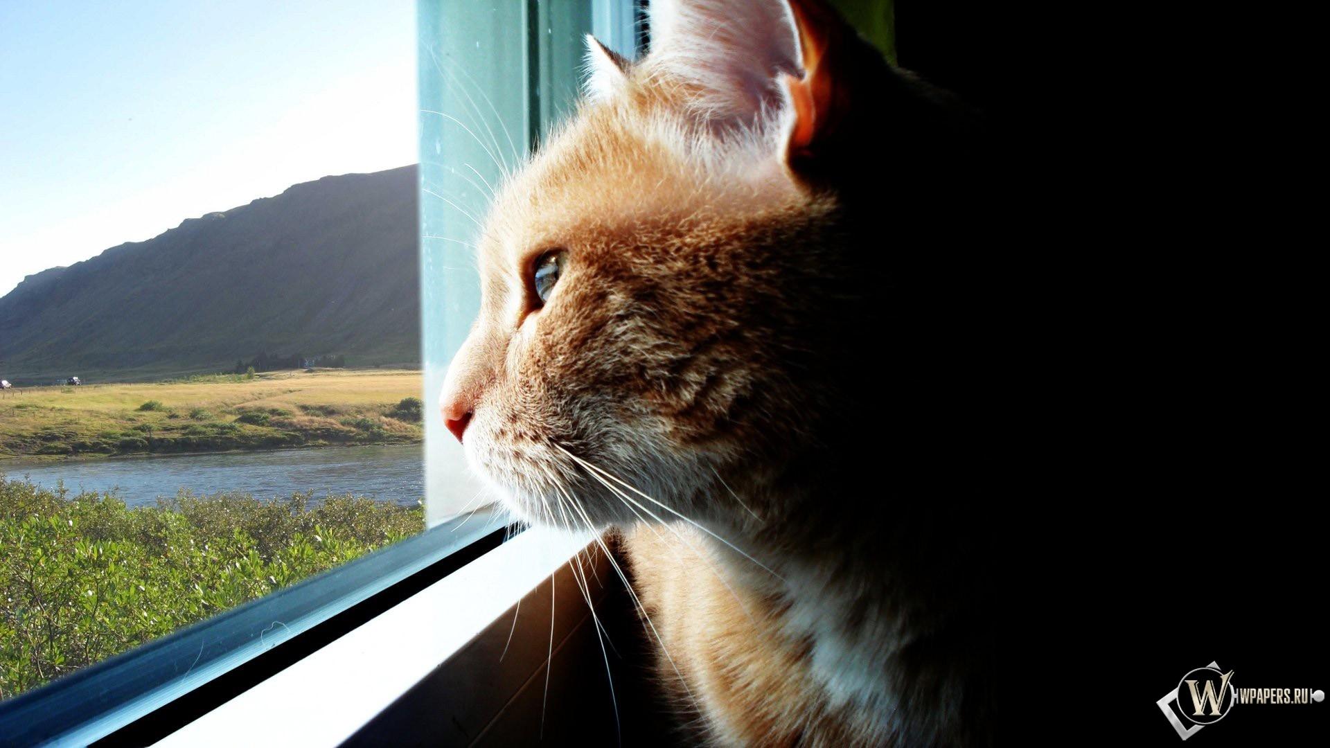 Кот смотрящий в даль 1920x1080