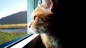 Обои Кот смотрящий в даль: Взгляд, Окно, Кошка, Даль, Кошки
