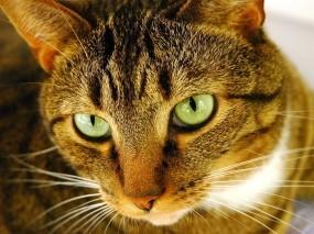 Обои Кошак: Глаза, Взгляд, Кошак, Кошки