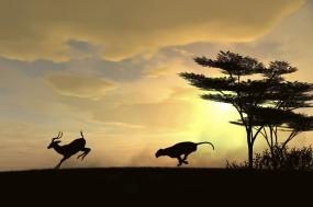Обои Охота гепарда: Солнце, Хищник, Охота, Гепарды