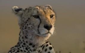 Обои Гепард в дозоре: Взгляд, Морда, Гепард, Гепарды