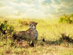 Обои Гепард в саванне: Хищник, Гепард, Саванна, африка, Гепарды