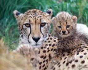 Обои Гепардиха с детенышами: Котята, Гепард, Гепарды, Детеныши, Гепарды