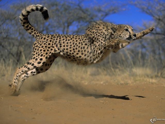 Гепард в прыжке