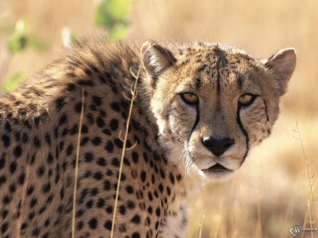 Морда гепарда