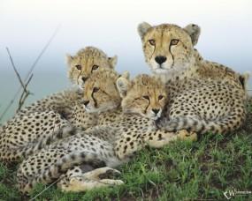 Обои Гепардиха с детенышами: Котята, Гепард, Гепарды, Гепарды
