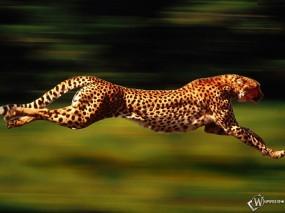 Обои Бегущий гепард: Скорость, Гепард, Бег, Гепарды