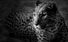 Обои Леопард: Леопард, Кошка, Черно-белый, Леопарды