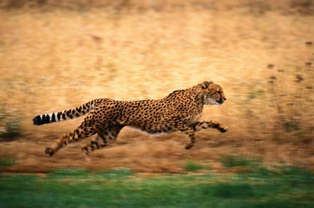 Гепард бежит