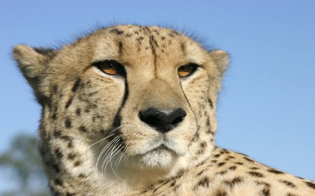 Голова гепарда