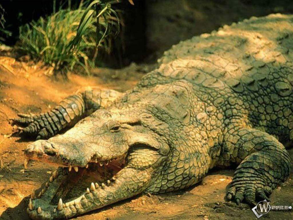 Пасть крокодила 1024x768