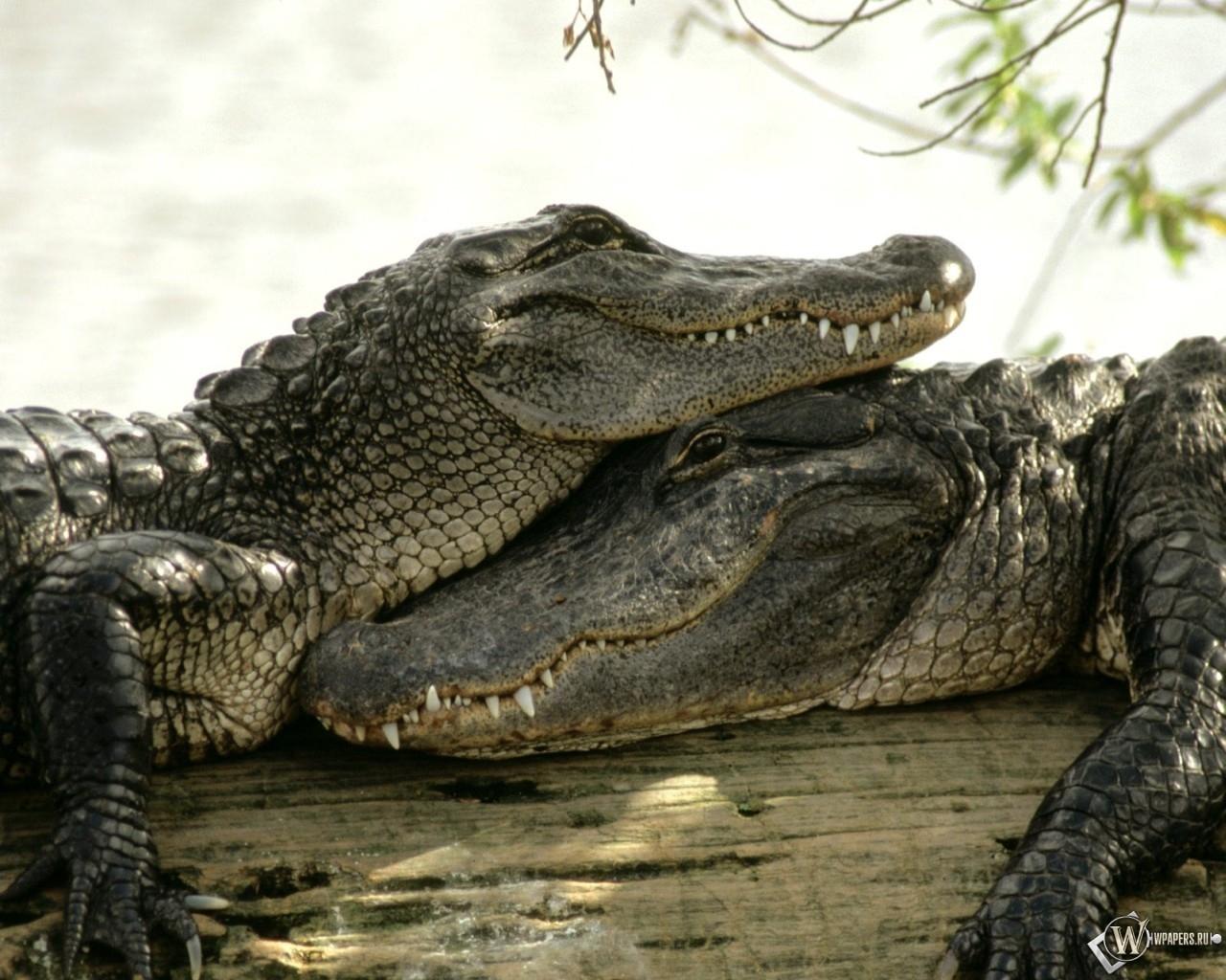 Два крокодила 1280x1024
