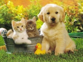 Обои Cобака и 2 кота: Щенок, Котята, Собака, Утка, Собаки
