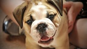 Обои пасть собаки: Морда, Щенок, Пасть, Зубы, Собаки