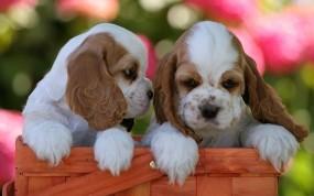 Обои Щенки спаниеля: Щенок, Собака, Спаниель, Cocker Spaniel, Собаки