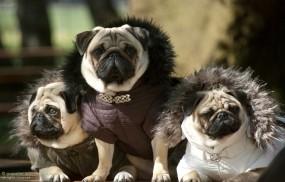 Обои Мопсы: Собаки, Мопс, Собаки