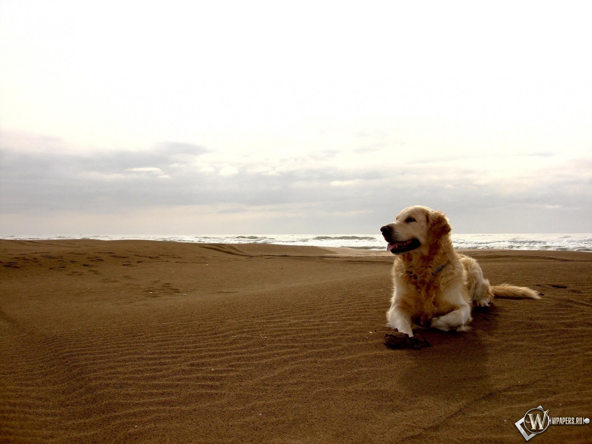 Лабрадор на песке 1920x1440