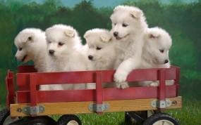 Обои Самоедские лайки в тележке: Щенки, Пушистики, Собаки