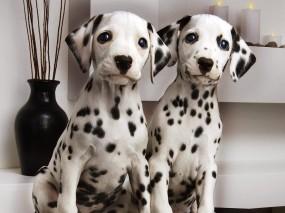 Обои Два далматинца: Пара, Собака, Ваза, Собаки