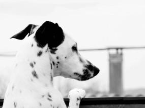 Обои Далматинец: Собака, Черно-белое, Далматинец, Собаки