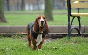 Обои Бассет хаунд на прогулке: Трава, Собака, Бассет, прогулка, Собаки