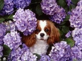 Обои Кавалер кинг чарльз спаниэль: Цветы, Собака, Сирень, Собаки