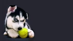 Обои Хаски с теннисным мячом: Щенок, Мяч, Хаски, Собаки