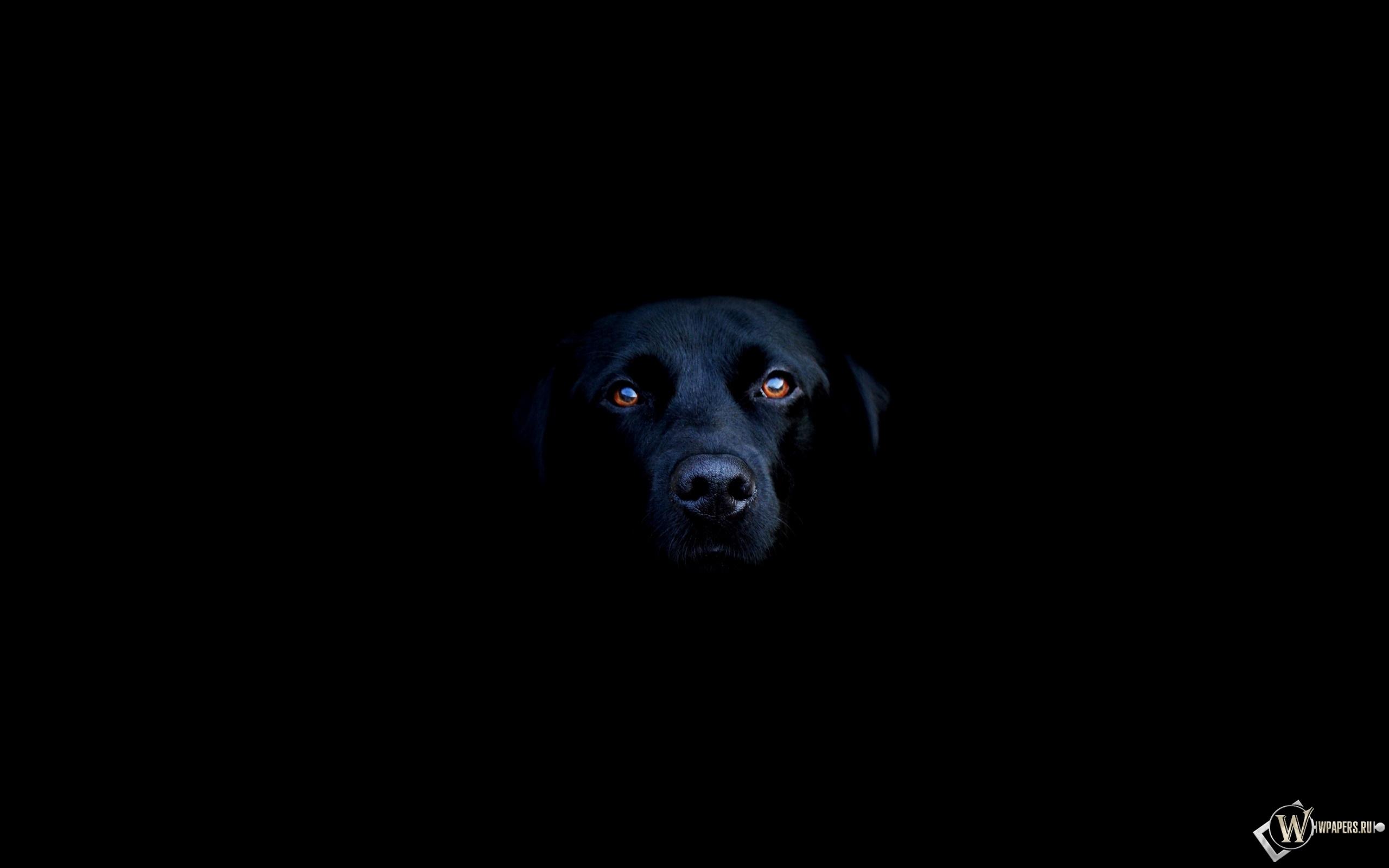 Чёрная собака 2560x1600