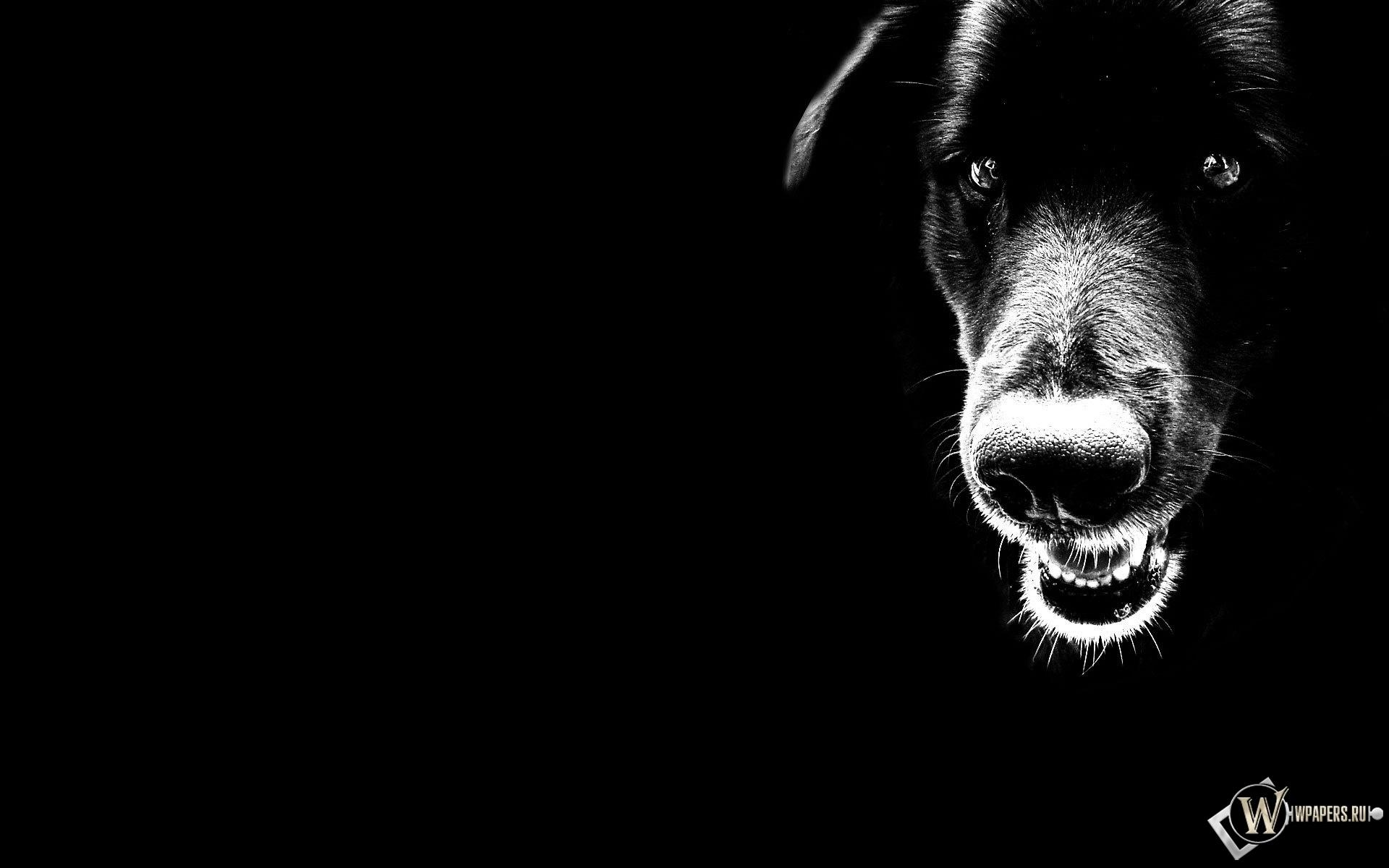 Чёрный пёс 1920x1200