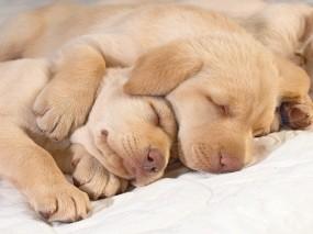 Обои Спящие лабрадоры: Щенок, Лабрадор, Собака, Собаки