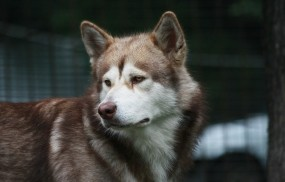 Обои Аляскинский маламут: Собака, маламут, друг, Собаки