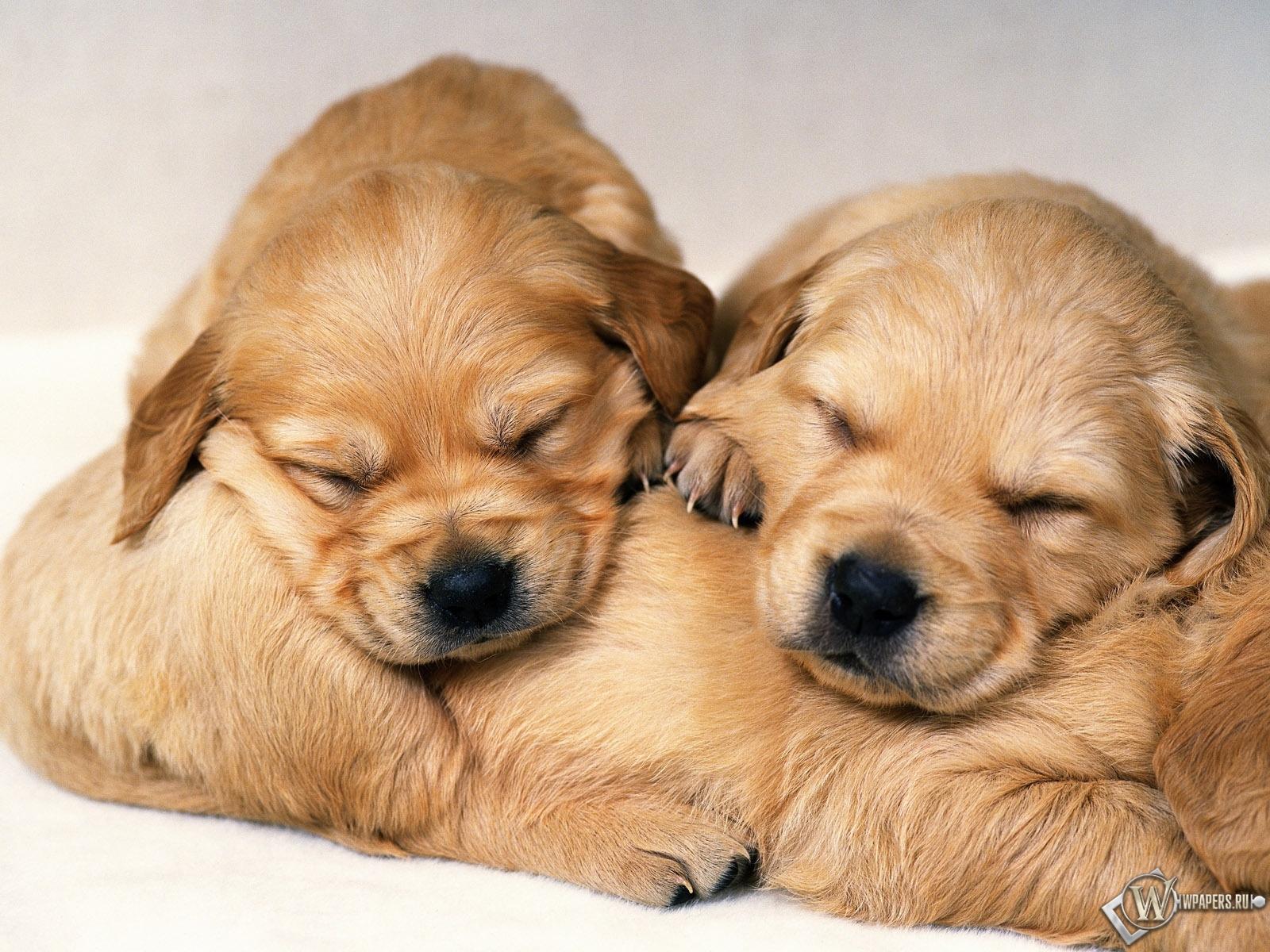 Спящие щенки 1600x1200