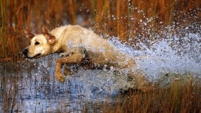 Обои В движении: Вода, Брызги, Прыжок, Собака, Собаки