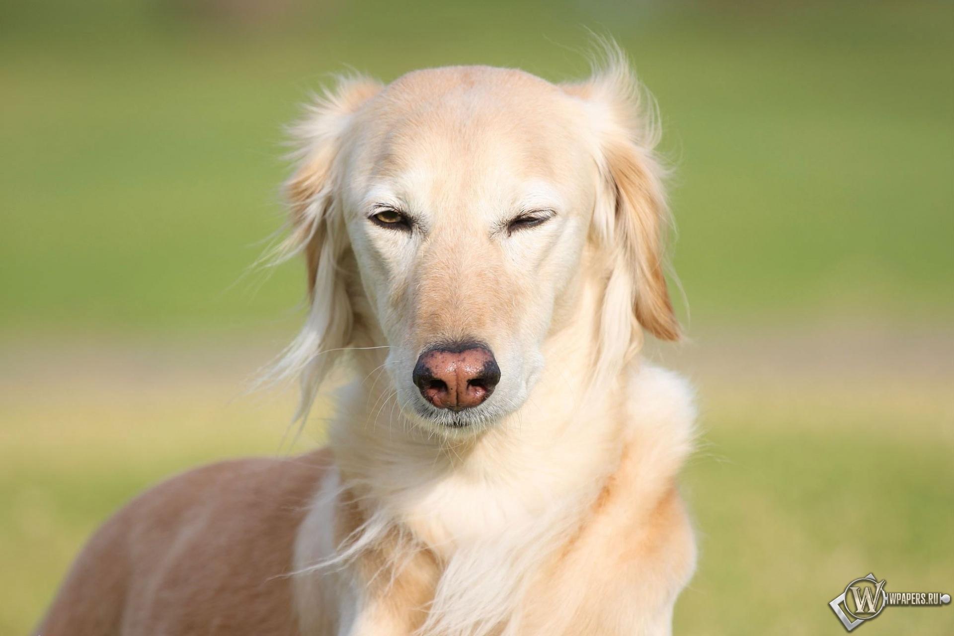 Довольная собака 1920x1280