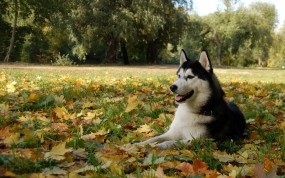 Обои Лайка : Деревья, Листва, Собака, Собаки