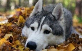 Обои Грустный хаски: Собака, Хаски, Собаки