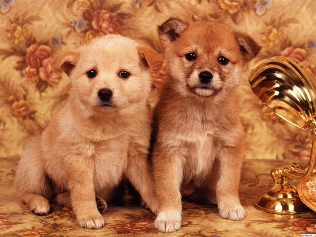 Обои щенки тайского лабрадора на