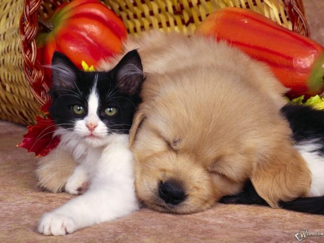 Щенок уснул на котенке