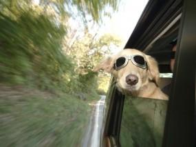 Обои Пес летун: Машина, Скорость, Очки, Собака, Собаки