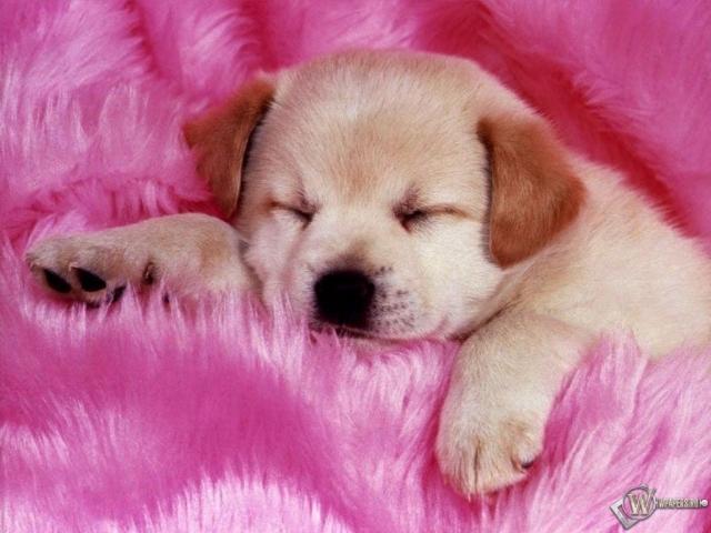 Щенок на розовом одеяле