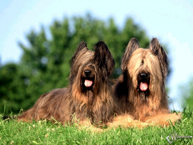 Две волосатых собаки