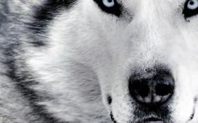 Обои Морда сибирского Хаски: Морда, Макро, Хаски, Собаки