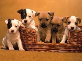 Обои Пятеро щенят: Корзина, Щенки, Собаки