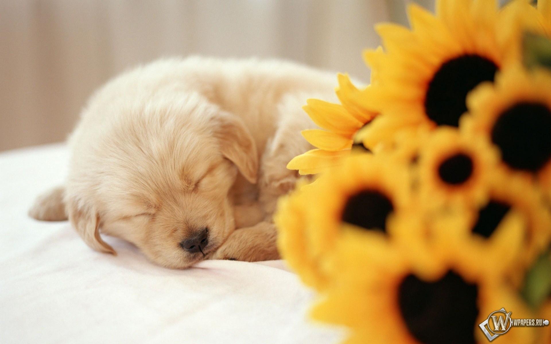 Спящий щенок 1920x1200