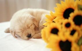 Обои Спящий щенок: Сон, Щенок, Подсолнух, Собаки