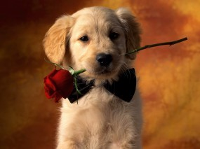 Обои Щенок с розой: Роза, Взгляд, Собака, Собаки
