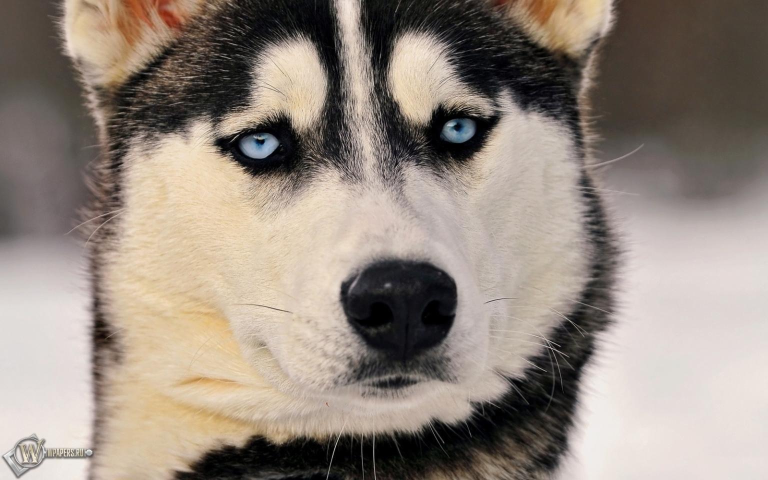 http://wpapers.ru/wallpapers/animals/Dogs/6898/1536x960_%D0%A5%D0%B0%D1%81%D0%BA%D0%B8.jpg