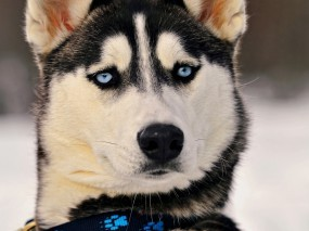Обои Хаски: Глаза, Собака, Хаски, Собаки