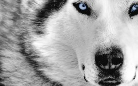 Обои Cибирский Хаски: Белый, Собака, Хаски, Собаки