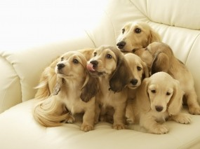 Обои Щенки на диване: Диван, Собаки, Щенки, Собаки